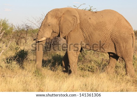 elephant mammal among the largest plains africa kruger national park south africa