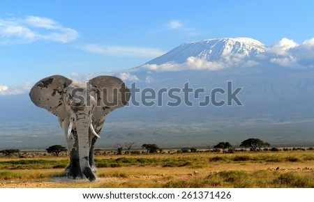 Elephant on Kilimanjaro mountain background. National Park of Kenya, Africa - stock photo