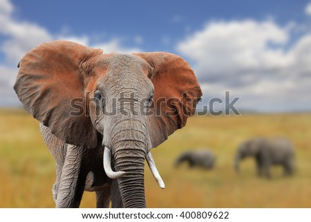 Elephant on savannah in Africa, National park of Kenya - stock photo