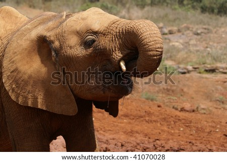 Elephant Orphan - stock photo