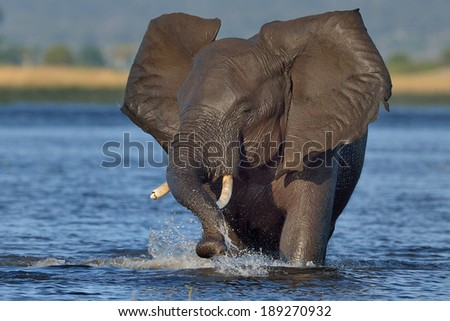 Elephant playing in water - stock photo