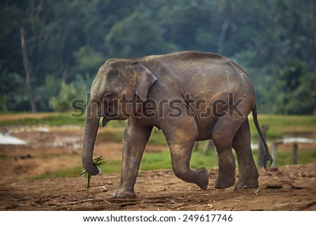 Elephant plucked leaves and going to lunch - stock photo