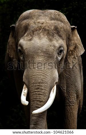 Elephant portrait - stock photo