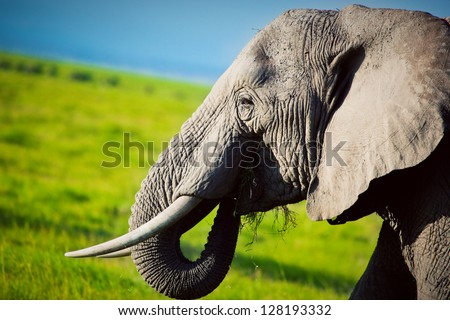 Elephant portrait close-up on African savanna. Safari in Amboseli, Kenya, Africa - stock photo
