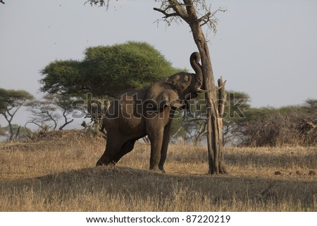 Elephant pushing a tree to knock fruit on to the ground