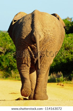 Elephant rear view stock images royalty free images vectors shutterstock - Elephant assis ...