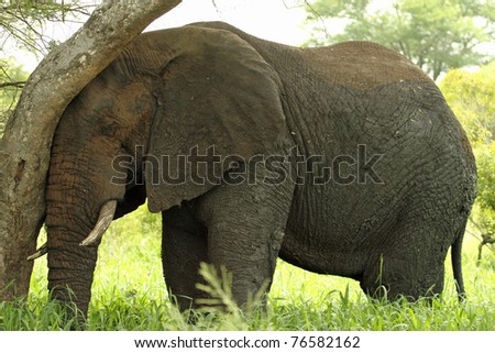 Elephant resting leaning against tree trunk - stock photo