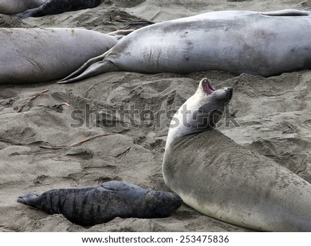 Elephant Seal and Pup California Coast - stock photo