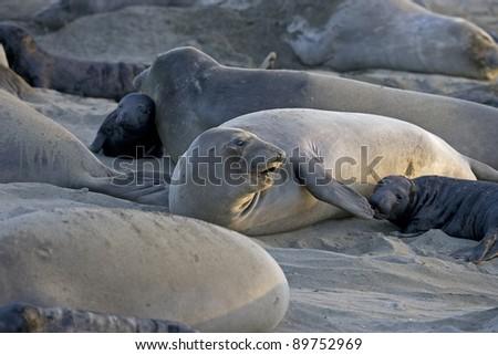 Elephant Seal Colony at San Simeon - stock photo