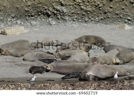 Elephant Seal Colony in Coronado Islands Southern California, art o Mexico. Five pups can be seen with dark fur.