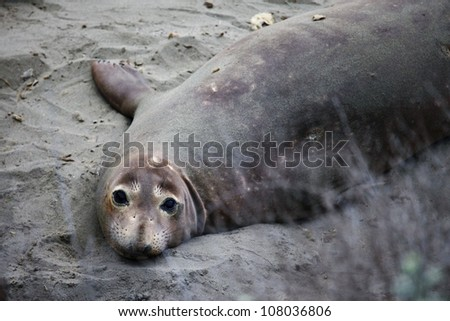 Elephant seal looking into camera,  Pacific Coast Highway, California - stock photo