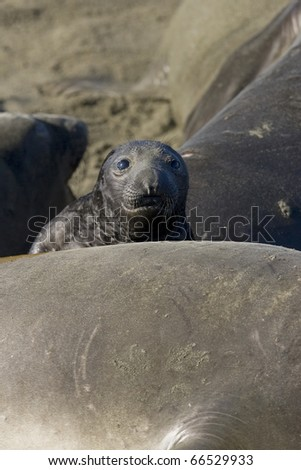 Elephant Seal Pup on San Simeon Beach - stock photo