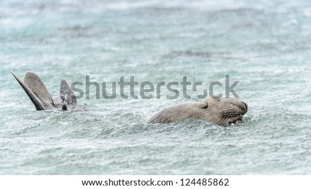 Elephant seal swims in the water. South Georgia, South Atlantic Ocean.