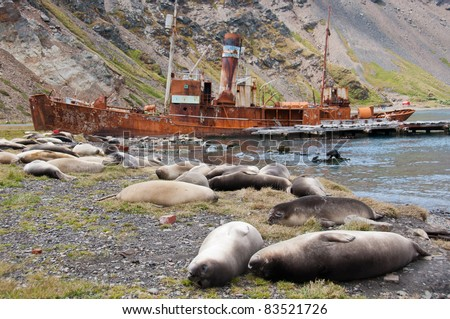 Elephant Seals and rusting shipwreck. Female elephant seals rest at the historic whaling station in Grytviken, South Georgia Island - stock photo