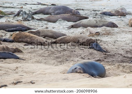 Elephant seals during mating season in Ano Nuevo State Park, California