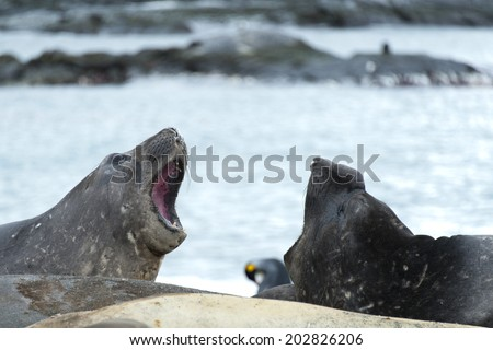 Elephant seals fighting or playing, South Georgia, Antarctica