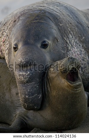 northern elephant seals stock images royalty free images