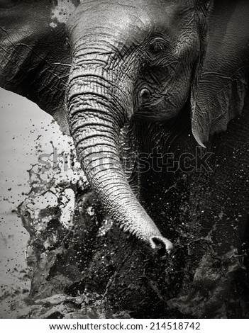 Elephant splashing water with trunk - Etosha National Park (Namibia) - stock photo