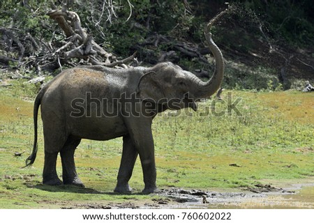 Elephant spraying dirt and water on itself from its trunk.. The adult  Male of Sri Lankan elephant (Elephas maximus maximus). Yala National Park. Sri Lanka.