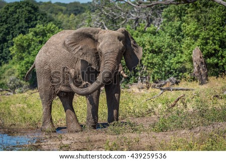 Elephant squirting mud over itself beside river