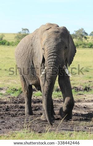 Elephant standing - Massai Mara, Kenya - stock photo
