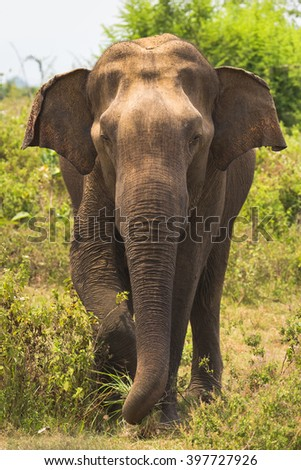 Elephant stands in front and tearing trunk grass, Sri Lanka, Ceylon, Uda Walawe national park - stock photo