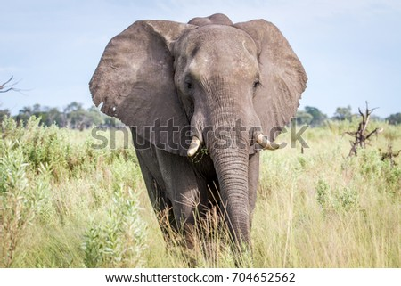 Elephant starring at the camera