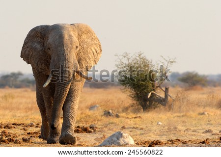 Elephant walking - stock photo