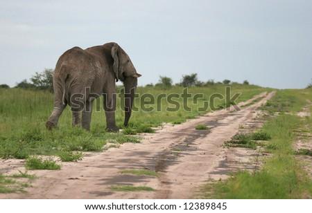 Elephant walking away by the roadside. Etosha national park. Botswana. Africa - stock photo