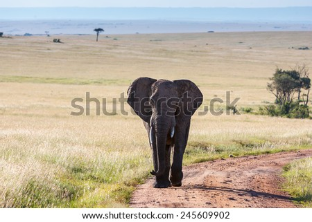 elephant walking in the savanna - stock photo
