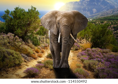 Elephant walking on the road at sunset - stock photo