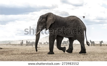 Elephant walking, Serengeti, Tanzania, Africa - stock photo