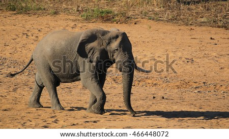 Elephant walking through dry riverbed, Kruger National Park