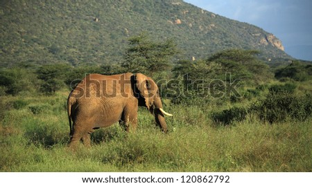 Elephant walking through the grass in Kenya Africa