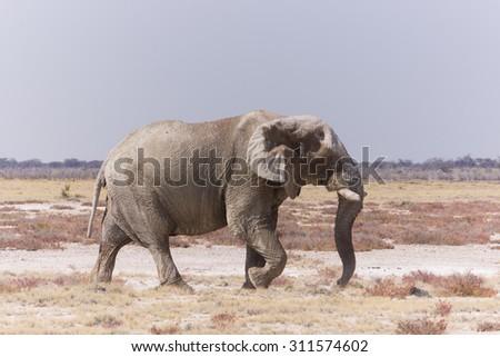 Elephant - Wildfife from Namibia - stock photo