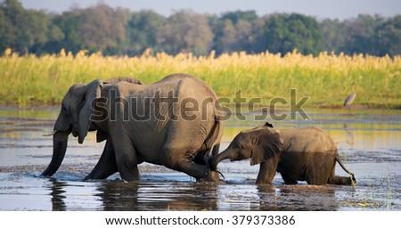 Elephant with baby crossing the river Zambezi.Zambia. Lower Zambezi National Park. Zambezi River. An excellent illustration. - stock photo