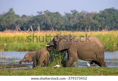 Elephant with baby near the Zambezi River. Zambia. Lower Zambezi National Park. Zambezi River. An excellent illustration. - stock photo
