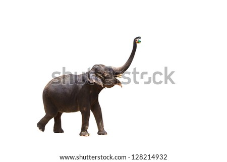 Elephant with ball in his trunk isolated against white background. With Clipping path - stock photo