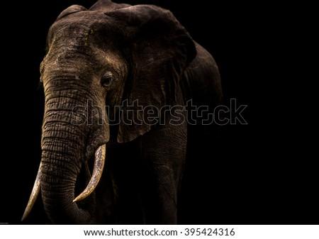 Elephant with Black background - stock photo