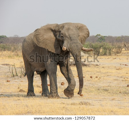 Elephant with long trunk
