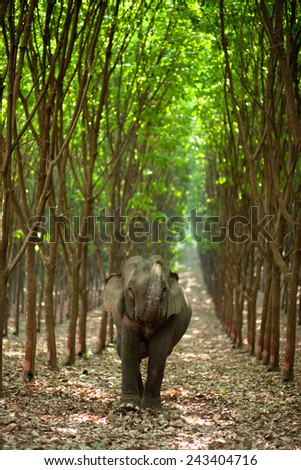 Elephant with rubber tree - stock photo