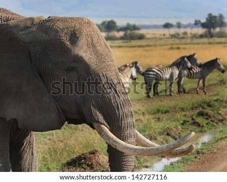 Elephant with Zebras on the Masai Mara Plains - stock photo