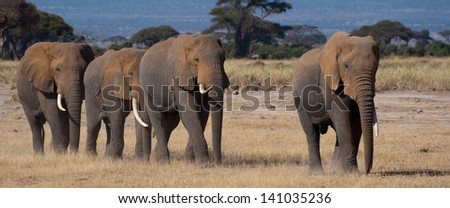 Elephants, Amboseli National Park near Kilimanjaro - stock photo