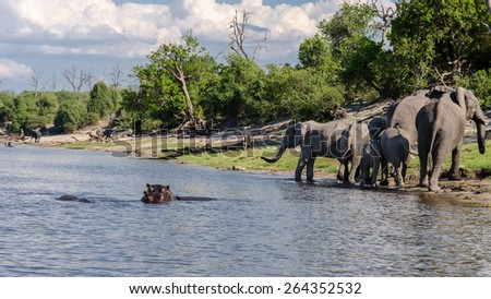 Elephants and hippos on the banks of the Chobe River - stock photo