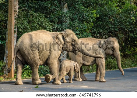 Elephants Asia at Thailand
