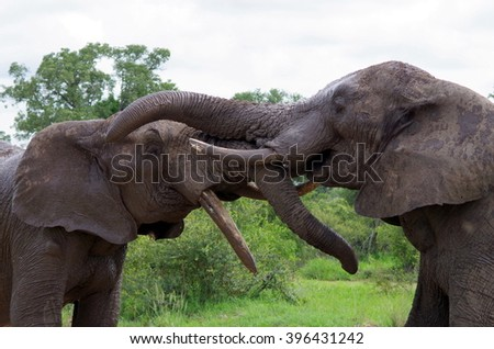 Elephants assaulting on each other