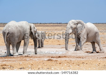 elephants at a waterhole  in etosha national park namibia covered with white mud 2
