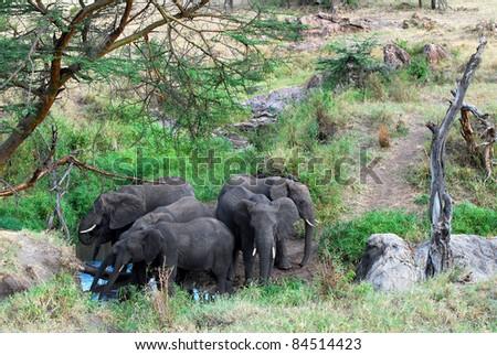 Elephants at Water Hole - stock photo