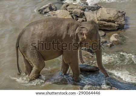 Elephants bathe in the river, elephants drink at the waterhole. - stock photo