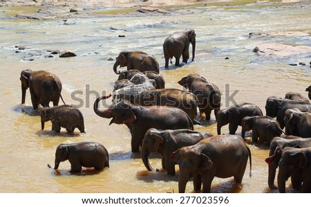 Elephants bathing in river in Sri Lanka - stock photo